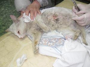 витафел глобулин для кошек