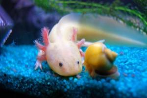 аксолотль в аквариуме
