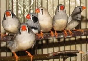 амадины птицы