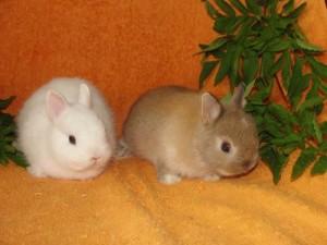 два домашних кролика