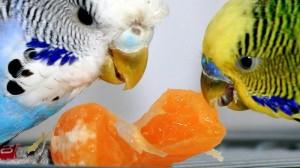 фрукты для попугая