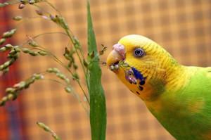 пища попугая