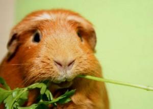питание морской свинки