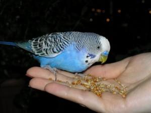 попугай приручение