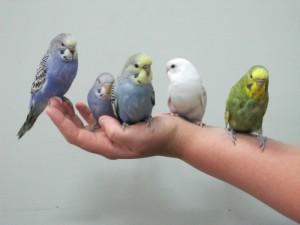 приручение попугаев