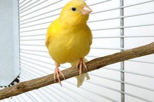 птицы канарейки