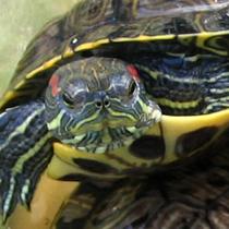 чем болеют красноухие черепахи