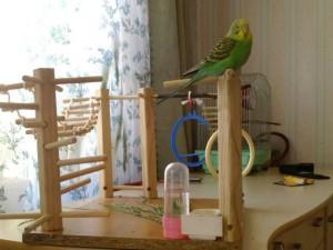 чем играет попугай