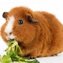 чем кормить свинку