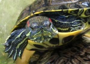 черепаха без воды