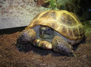 черепаха домашняя