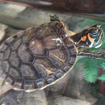 черепаха красноухая в воде