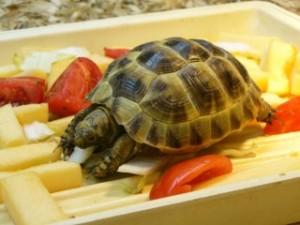 что ест черепаха
