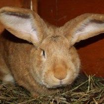 гигант кролик