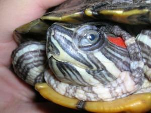 глаза черепахи