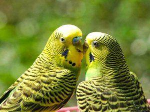 как определить пол попугаев