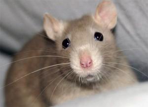 крыса дома