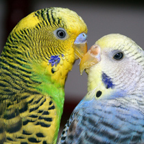 попугаи разнополые