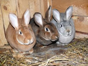 прививки кроликам