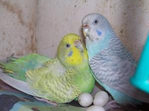 размножение попугаев