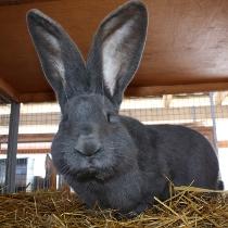 ризен кролики