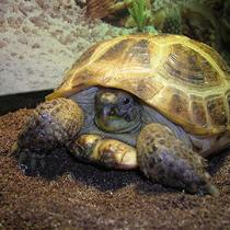 сухопутная черепаха уход