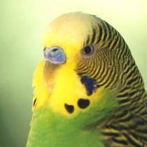 возраст попугая