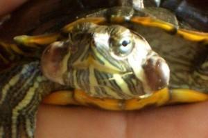 заболевание черепах