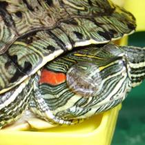 закрытые глаза у черепахи