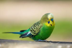 жизнь волнистого попугая