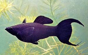 Моллинезии рыбки