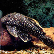 анциструс рыбка
