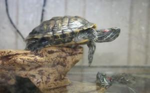 красноухая черепаха в доме