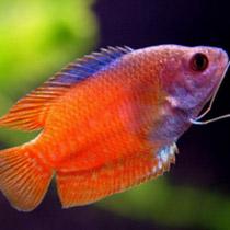 лялиус рыбка