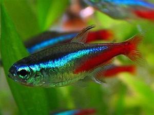 неон рыбка аквариумная