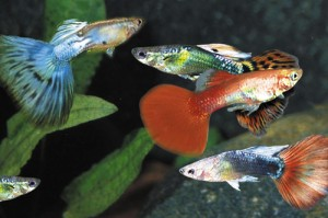 неприхотливые рыбки