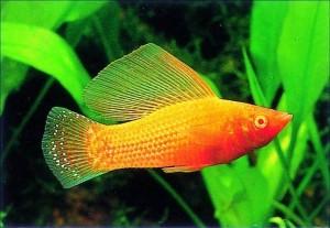пецилии рыбки