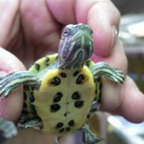 пол черепахи