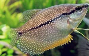 рыба гурами