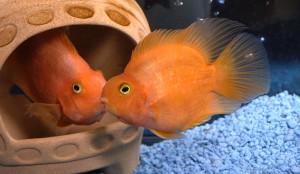 рыба-попугайчик