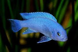 рыбка акара