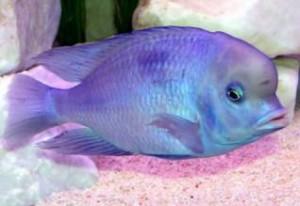 рыбка голубой дельфин