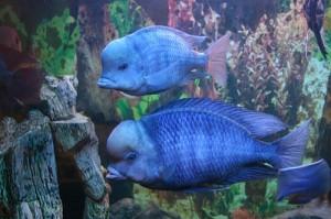 рыбки голубой дельфин