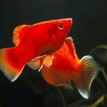рыбки пецилии
