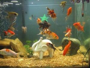 скалярии c другими рыбками