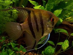 скалярии рыбки