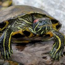 сколько живет красноухая черепаха
