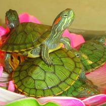 водяные черепахи