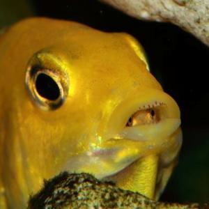 Yellows sind wie fast alle Malawi-Barsche Maulbrüter. Hier sieht man die kleinen schon einen ersten, scheuen Blick aus dem Maul der Mutter werfen.