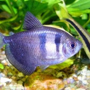рыбки тернеции